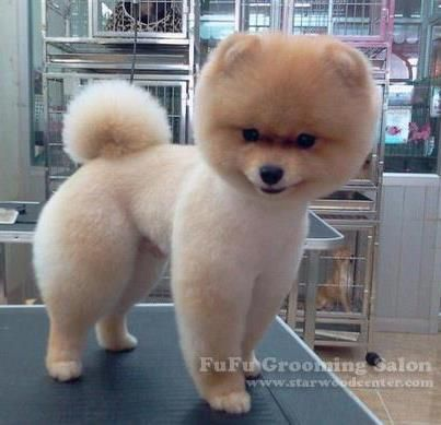 how to grooming pomeranian and instructions